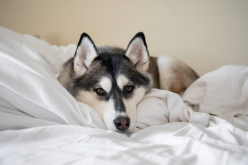Cute Siberian Husky snuggled up on bed