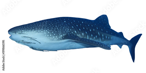 Whale Shark isolated. Whaleshark on white background