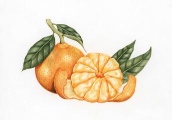 Illustration drawing style of orange
