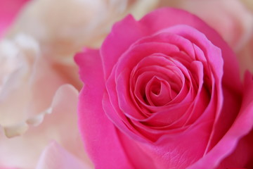 Romantic pink rose close up illusion
