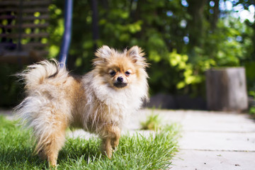 Funny furry pomeranian dog standing on the grass, pet portrait