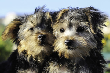 Snuggling Yorkshire Terrier Puppies in Love for Valentine's Day