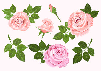 Pink and beige vector roses and leaves set isolated on the white