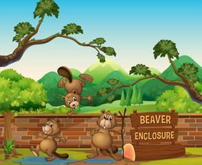 Beavers in the open zoo