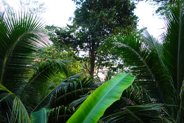 Tropical forest with king palm archontophoenix cunninghamiana and banana leaves green foliage