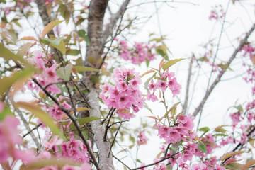 Pink sakura on tree.