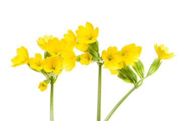 Wall Mural - Three stems with yellow flowers of the cowslip