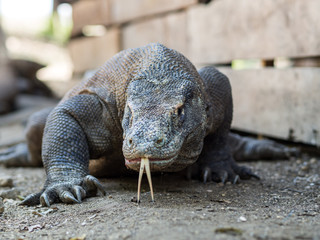 Monitor Lizard on Rinca Island, Indonesia.