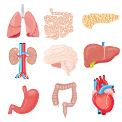 Human Internal Organs Isolated on White. Vector Illustration.