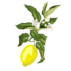 A branch of a lemon tree with flowers and a fruit