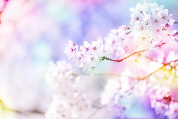 美しく咲き誇る満開の桜をカラフルにする 背景