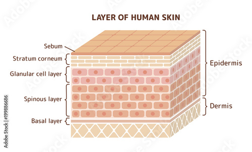 Layer Of Human Skin Illustration Stock Image And Royalty Free