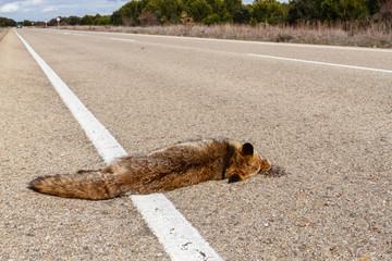 Vulpes vulpes. Zorro común atropellado en la carretera.