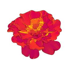 orange flower isolated illustration on white background