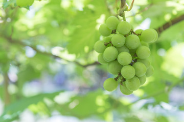 Green grape at farm, Thailand.