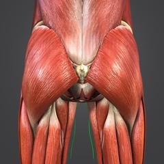 Hip Muscles with Lymphnodes