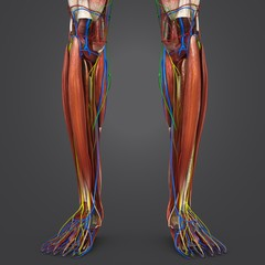 Leg Muscles with Circulatory system, Nerves and Lymph nodes