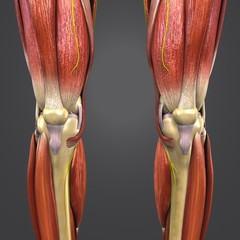 Lower Limbs with Nerves Anterior view