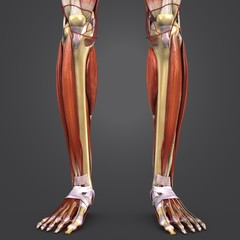 Leg Muscles and Bones with Arteries