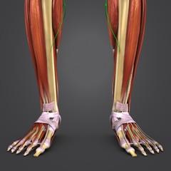 Leg Muscles and Bones with Lymph nodes closeup
