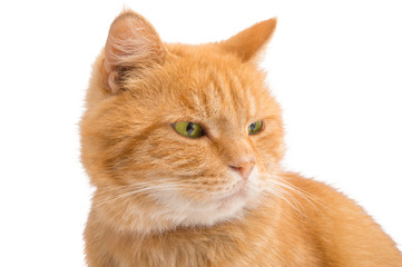 red cat isolated