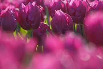 fiori di tulipano, (Tulipa)