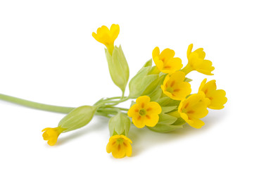 Wall Mural - Yellow Primrose flowers