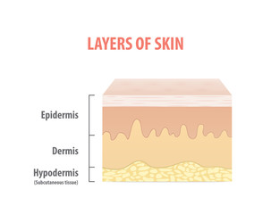 Layers of skin diagram illustration vector on white background. Medical concept.