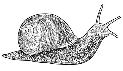 Garden snail illustration, drawing, engraving, ink, line art, vector
