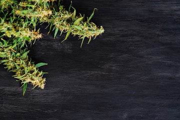 Large buds of fresh cannabis weed on a black background of a wooden table with a place for copy space