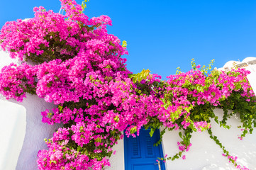 Poster Pink White building with blue door and pink flowers.