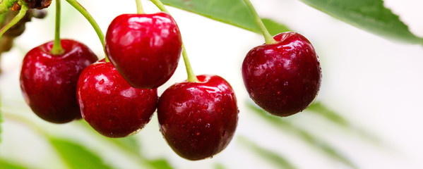 Cherry on a tree branch close up.