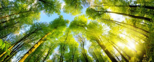Wall Mural - Grüne Baumkronen im warmen Sonnenschein als Panorama