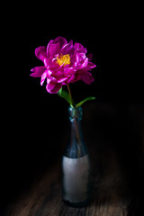 burgundy, red, bright red peony - floral black background