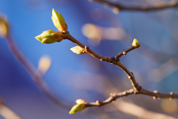 The first early spring buds Fotobehang