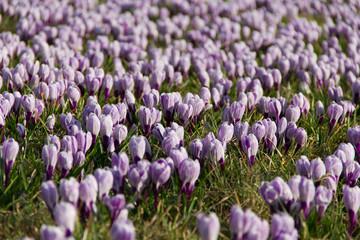 A meadow full of blooming crocus flowers in spring time.