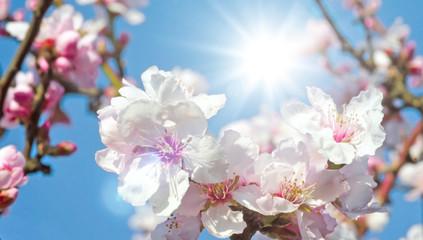Wall Mural - Glückwunsch, alles Liebe: zarte, duftende Mandelblüten vor blauem Frühlingshimmel :)