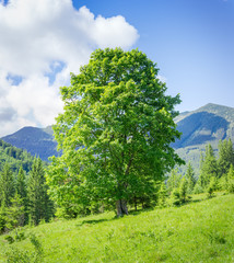 Old solitary beech on a mountain slope at summer day
