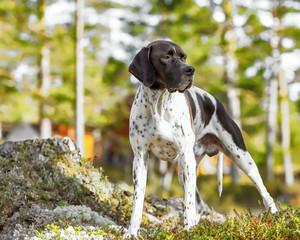 Hunting dog english pointer