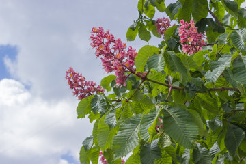 Fragment of the flowering red horse-chestnut tree