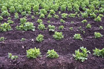 Potato farming in Cusco, Peru