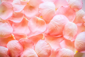 Texture of petals of pink roses