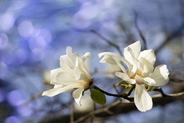 Spring flowers nature background.Magnolia  flowers in the garden,sunlight, blue bokeh background