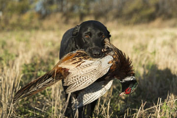 A Black Labrador Retreiver with a Ringnecked Pheasant in South Dakota