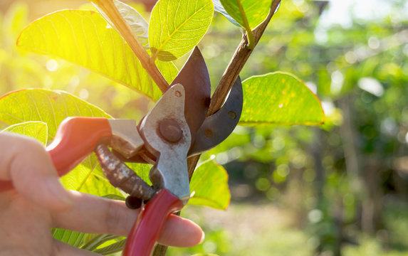 pruning trees with pruning shears in the garden on nature background.
