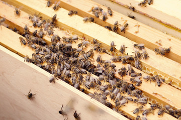 Working bees in honeycombs. Beekeeping