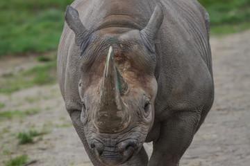 close-up photo of a beautiful Black Rhino