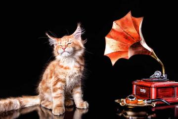 Nice maine coon kitten listening gramophone on black background, isolated.