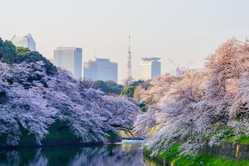 満開の桜 Cherry Blossoms