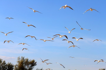 Flock of seagull gull birds flying hovering swooping in sky on a sunny clear blue day